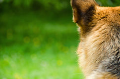Alsatian dog Royalty Free Stock Photos
