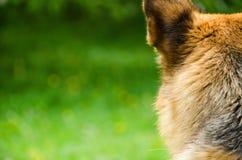 Alsatian dog Royalty Free Stock Photos