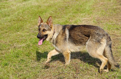 Alsatian dog standing. On green meadow royalty free stock photos
