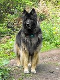 Alsatian dog in woodland clearing. Alsatian dog full length standing in a woodland clearing stock photo