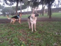 Alsatian dogs in a park Royalty Free Stock Photos