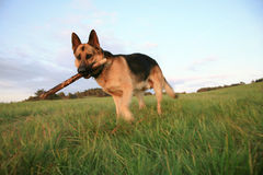 The Alsatian ( German Shepherd Dog ) is fetching. Portrait of the Alsatian ( German Shepherd Dog ) running on the meadow. The big dog is fetching the stick royalty free stock image