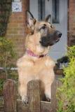 Alsatian guard dog. German Shepherd dog Alsatian guard dog looks over his property Stock Images
