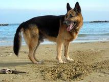 Alsatian na praia Fotos de Stock Royalty Free