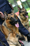 Alsatian police dogs. Lined up and waiing to perform