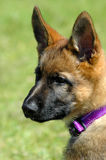 Alsatian puppy. A cute Alsatian Shepherd puppy dog head profile portrait with cute expression in the face watching other dogs in the park outdoors Stock Photography