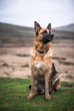 Alsatian pure bread dog sitting on grass. Active outdoor dog Stock Photography