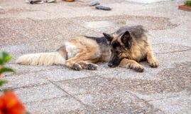 Alsatian resting in terrace Stock Image