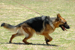 Alsatian running. A beautiful full body of a German Shepherd in motion pulling on the lead and running in the park outdoors Stock Photo