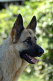 Alsatian Shepherd dog. An Alsatian (German) Shepherd dog head portrait with tongue out and alert expression in the beautiful face watching other dogs in the park Stock Photos