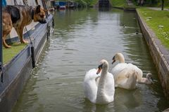 Alsation dog watching swans on canal. Alsation pet dog on narrow boat eyeing up the swans and signet on canal royalty free stock image