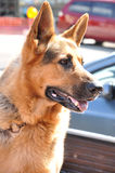 Alsation or German Shepherd dog Stock Image