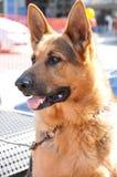 Alsation o cane da pastore tedesco Fotografia Stock Libera da Diritti