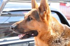 Alsation o cane da pastore tedesco Fotografie Stock Libere da Diritti