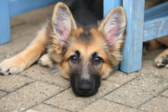 Alsation puppy. A Male Alsation Puppy laying outside under a blue table Stock Photo