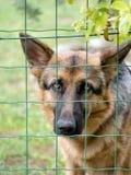 Alsation triste, cavo tedesco del nehind del cane da pastore recinta il giardino Immagini Stock Libere da Diritti