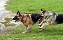 Alsations having fun. Two German Shepherd playing Stock Image