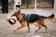 Alsaziano di razza Wolf Dog di Young Dog Or del pastore tedesco attacco fotografia stock libera da diritti