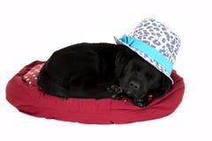 Alseep nero del cucciolo di labrador che porta cappello sveglio Fotografia Stock