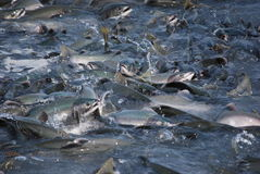 Alskan salmon. Group of salmon fishes up the river Royalty Free Stock Image