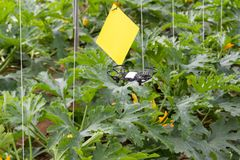 Mini drone flying in a greenhouse on a zucchini crop. Also in agriculture, utility is sought for drones. To begin with, you have to set the flight techniques stock photo