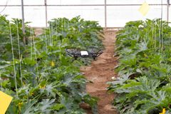 Mini drone flying in a greenhouse on a zucchini crop. Also in agriculture, utility is sought for drones. To begin with, you have to set the flight techniques royalty free stock images