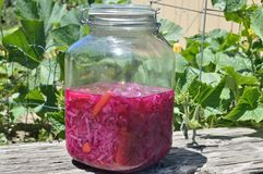Fermented Red and Green Cabbage and Carrots. Also called Cultured vegetables, gallon jar of fermented green cabbage, red cabbage, and carrots. Water and salt stock photography