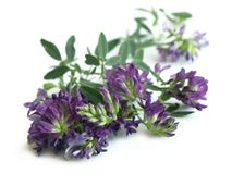 Alfalfa Medicago sativa Royalty Free Stock Photos