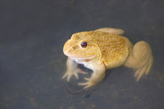 Also known as the Common Water Frog , sits on wood. Edible frogs are hybrids of pool frogs and marsh frogs. Stock Photography