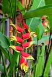 Exotic colorful blossom of heliconia rostrata. Also known as hanging lobster claw or false bird of paradise, an absolutely unique tropical flower Stock Photo