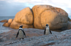 Also known as the Jackass Penguin and Black-footed Penguin Royalty Free Stock Photos