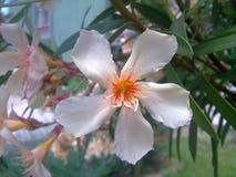 Nerium oleander stock images