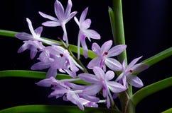 Orchid Vanda christensoniana royalty free stock photo