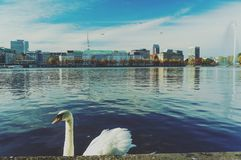 Alster swan autumn Stock Images