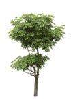 Alstonia Apocynaceae, dwa poziom dekoraci drzewo odizolowywał ov Fotografia Stock