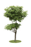 Alstonia Apocynaceae, a two level of decoration tree isolated ov. Alstonia Apocynaceae, a two level of decoration tree in the garden or park Royalty Free Stock Images