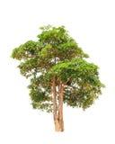 Alstonia scholaris (Apocynaceae) Royalty Free Stock Photography