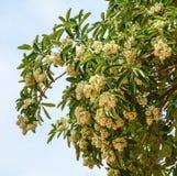 Alstonia scholaris Baum und Blumen am Wald in Phu Quoc, Vietnam lizenzfreie stockfotografie