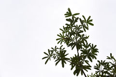 Alstonia scholaris leaf Stock Photo