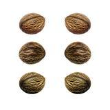 Alstonia scholaris seed Stock Image