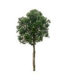 Alstoniascholaristräd som isoleras på vit Arkivfoto