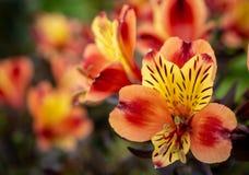 Alstroemeria - περουβιανό λουλούδι κρίνων στοκ φωτογραφία με δικαίωμα ελεύθερης χρήσης