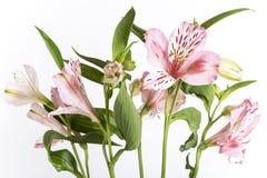 Alstroemeria, το άσπρο υπόβαθρο Στοκ εικόνες με δικαίωμα ελεύθερης χρήσης
