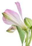Alstroemeria Όμορφο λουλούδι στο ελαφρύ υπόβαθρο Στοκ φωτογραφίες με δικαίωμα ελεύθερης χρήσης