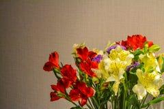 Alstroemeria или конец-вверх перуанской лилии Красный цвет и желтый цвет абстрактный коричневый цвет предпосылки выравнивает изоб Стоковое Изображение RF