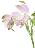 Alstroemeria Красивый цветок на светлой предпосылке Стоковые Изображения