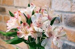 Alstroemeria Лилия Incas Стоковая Фотография RF