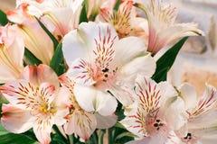 Alstroemeria Лилия Incas Стоковое Изображение RF