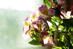 Alstroemeria на светлой предпосылке окна Стоковая Фотография