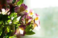 Alstroemeria на светлой предпосылке окна Стоковые Изображения